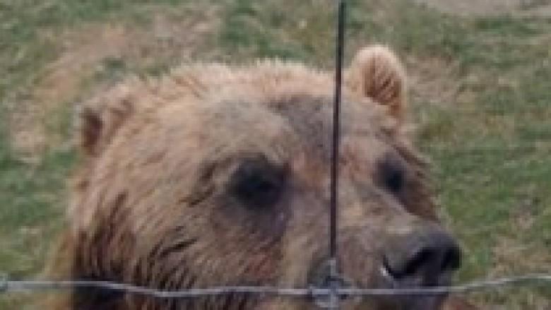 Konfiskohen dy arinj të murrmë në Prizren