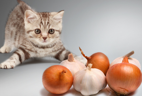 jiu_rf_photo_of_kitten_vs_onions_and_garlic