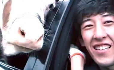Mënyra më bizare e transportimit të lopës në pjesën e pasme të veturës (Video)