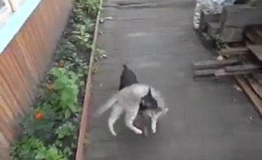 Qeni human e bart në shpinë macen e 'dehur' (Video)