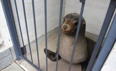 E pazakontë, foka zgjedh të flejë në një banjo publike (Foto)