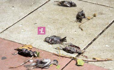 Zogj të ngordhur nga shiu i mbrëmshëm në Prishtinë
