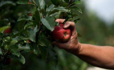 Filloi vjelja e mollëve të Prespës