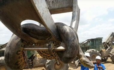 Kapet gjarpri më i madh në histori (Video)
