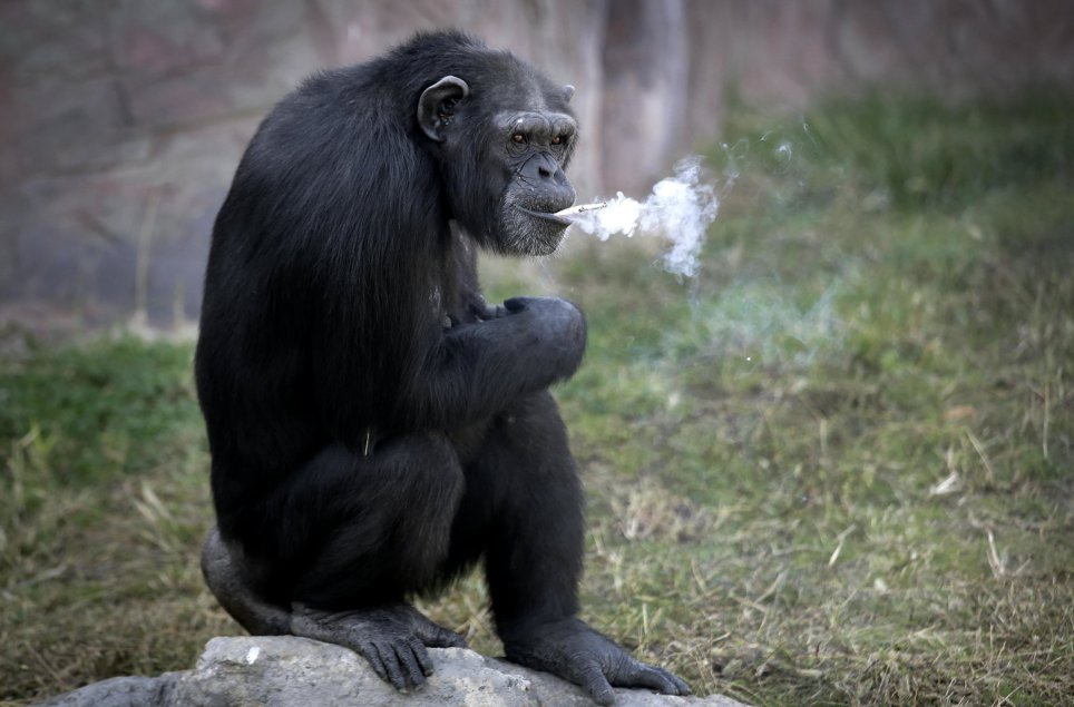 "Azalea, whose Korean name is ""Dallae"", a 19-year-old female chimpanzee, smokes a cigarette at the Central Zoo in Pyongyang, North Korea on Wednesday, Oct. 19, 2016. According to officials at the newly renovated zoo, which has become a favorite leisure spot in the North Korean capital since it was re-opened in July, the chimpanzee smokes about a pack a day. They insist, however, that she doesnít inhale. (AP Photo/Wong Maye-E)"