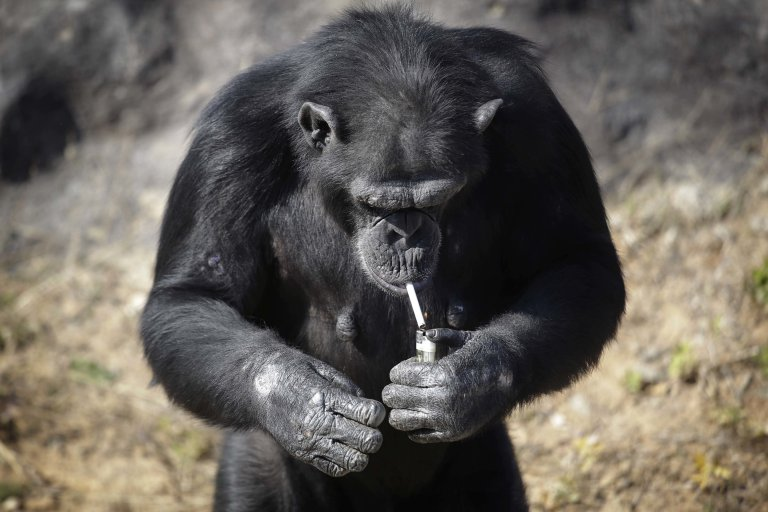 "Azalea, whose Korean name is ""Dallae"", a 19-year-old female chimpanzee, lights a cigarette at the Central Zoo in Pyongyang, North Korea on Wednesday, Oct. 19, 2016. According to officials at the newly renovated zoo, which has become a favorite leisure spot in the North Korean capital since it was re-opened in July, the chimpanzee smokes about a pack a day. They insist, however, that she doesnít inhale. (AP Photo/Wong Maye-E)"