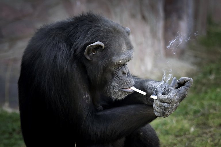 "Azalea, whose Korean name is ""Dallae"", a 19-year-old female chimpanzee, lights one cigarette from another at the Central Zoo in Pyongyang, North Korea on Wednesday, Oct. 19, 2016. According to officials at the newly renovated zoo, which has become a favorite leisure spot in the North Korean capital since it was re-opened in July, the chimpanzee smokes about a pack a day. They insist, however, that she doesnít inhale. (AP Photo/Wong Maye-E)"